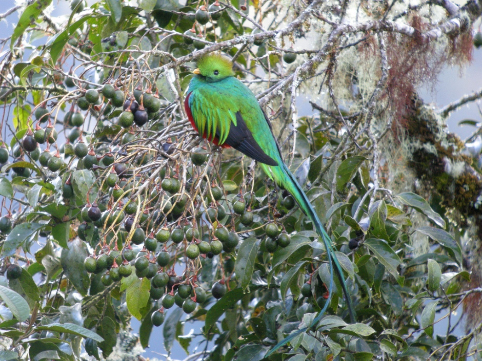 Respledent Quetzal captured by Frank Vassen in Mirador de Quetzales, Costa Rica